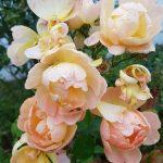 Glorious Garden roses